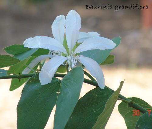 Bauhinia grandiflora Dsc02827