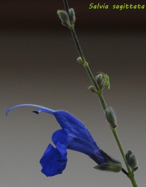 Salvia sagittata, macrophylla et urica Dscn5411