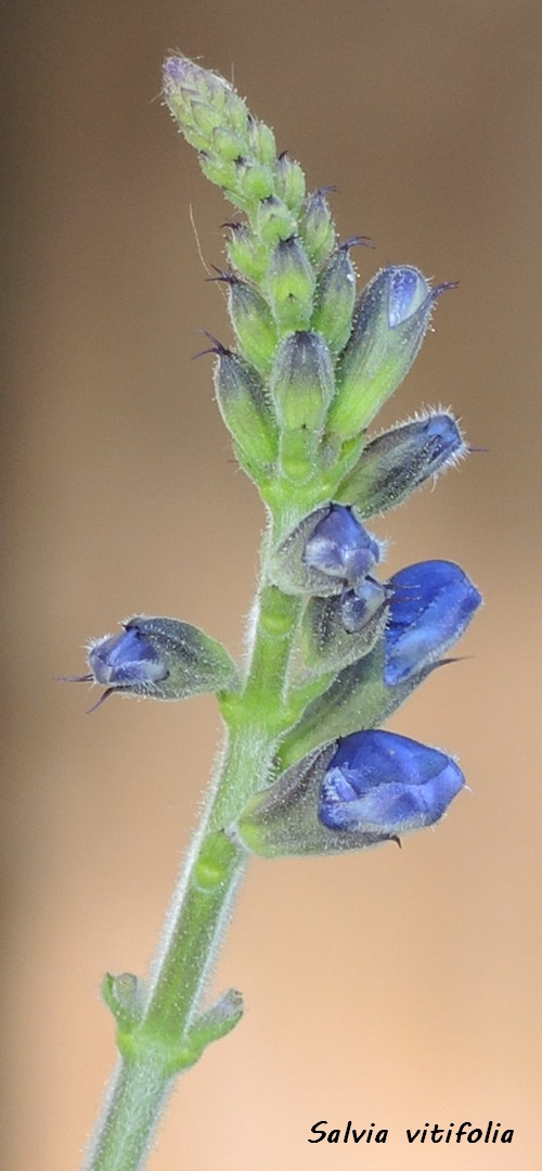 Salvia vitifolia Dscn5920