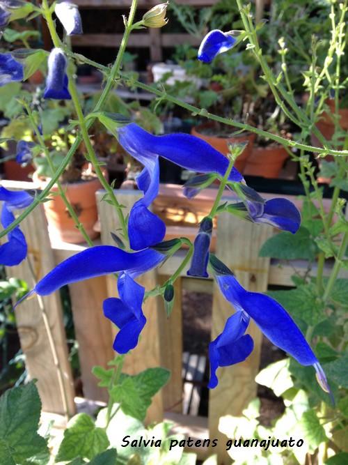 Salvia patens 'Guanajuato' Img_4810