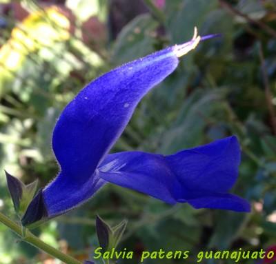 Salvia patens 'Guanajuato' Img_4811