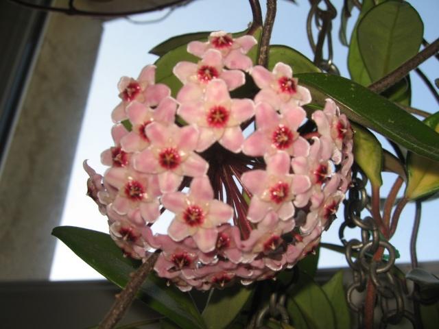 hoya carnosa variegata Img_0129