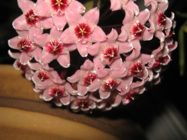 hoya carnosa variegata Img_0130