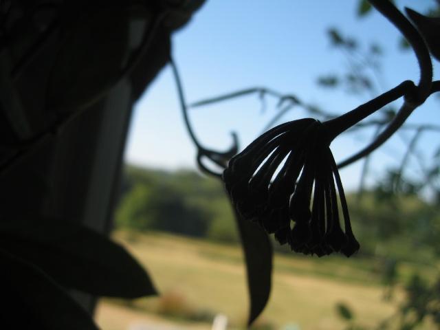 hoya carnosa variegata - Page 5 Img_0131