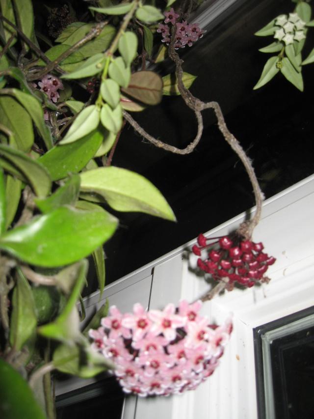 hoya carnosa variegata - Page 5 Img_0181