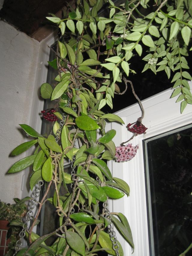 hoya carnosa variegata - Page 5 Img_0182