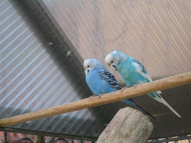 mes oiseaux exotique  Img_0190