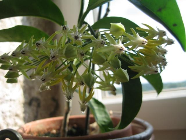 hoya multiflora en fleur - Page 3 Img_0204