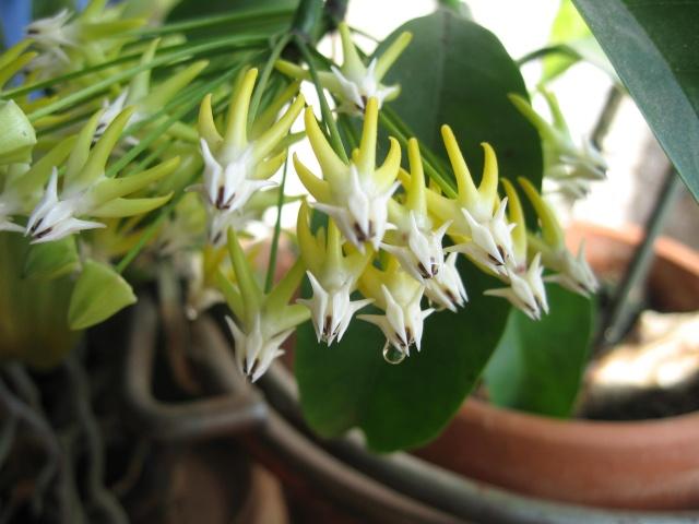 hoya multiflora en fleur - Page 3 Img_0205