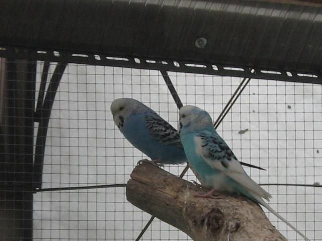 mes oiseaux exotique  Img_0211