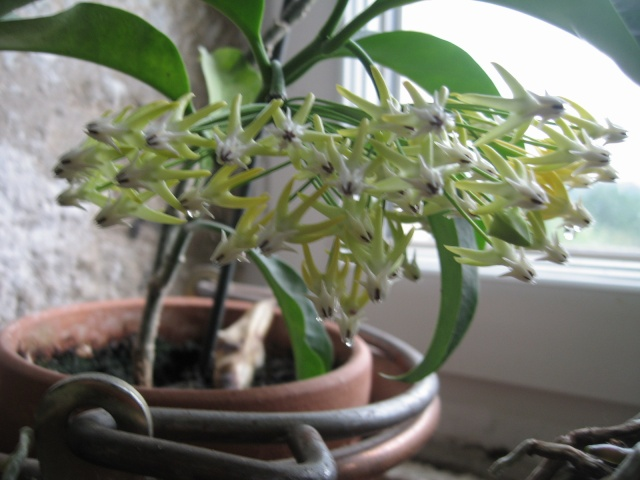 hoya multiflora en fleur - Page 4 Img_0218