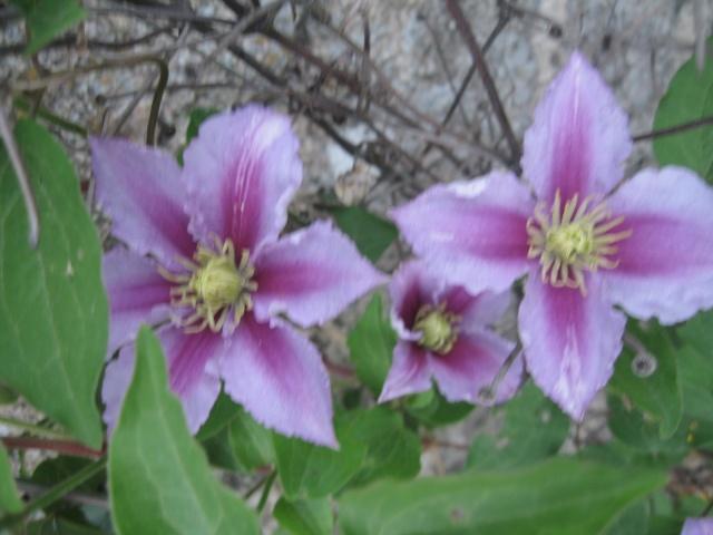 mon extérieur fleuris de mon chez moi lol Img_0228
