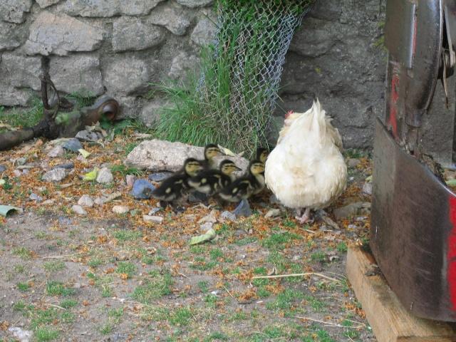 les petites oies née hier et mes autres animaux Img_0232