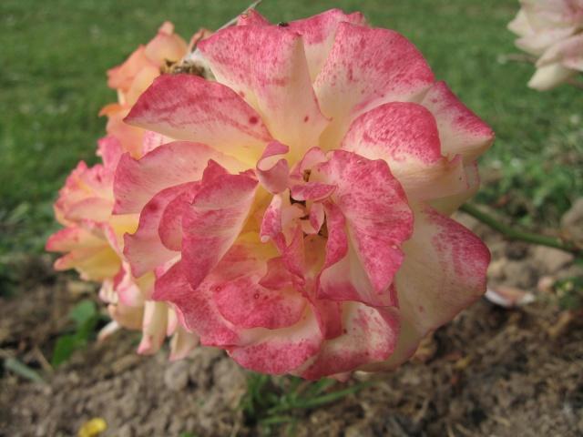 mon extérieur fleuris de mon chez moi lol Img_0234