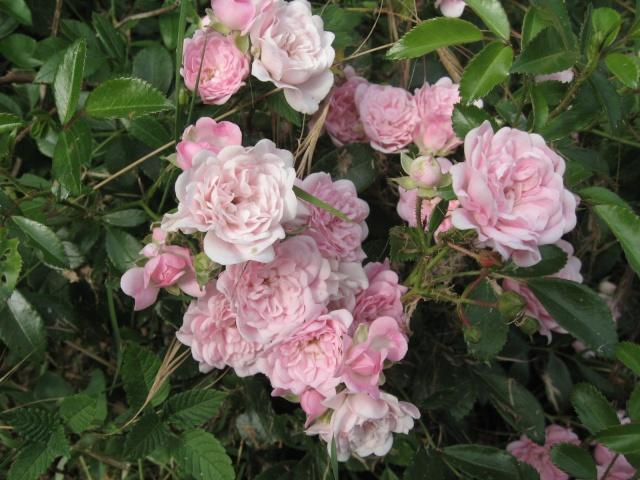 mon extérieur fleuris de mon chez moi lol Img_0242