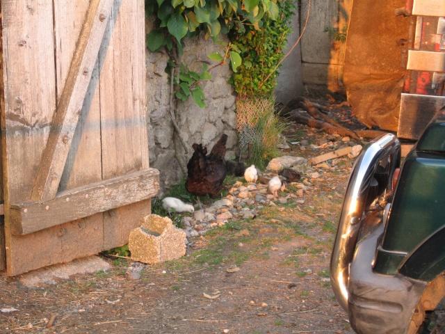 les petites oies née hier et mes autres animaux Img_0243