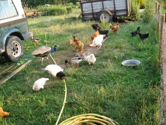 les petites oies née hier et mes autres animaux Img_0244