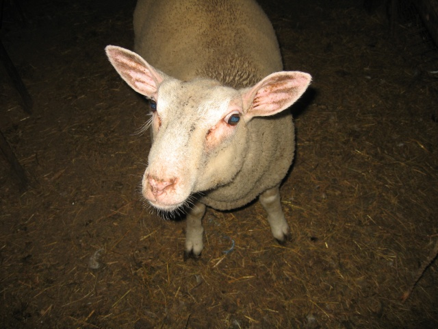 les petites oies née hier et mes autres animaux - Page 2 Img_0328