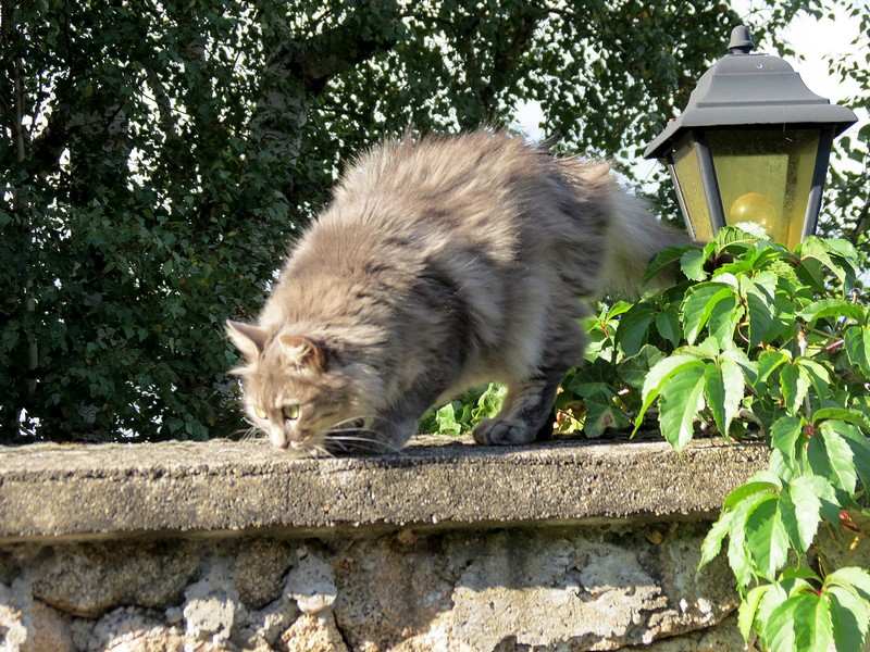 chat d'aveyron Img_4111