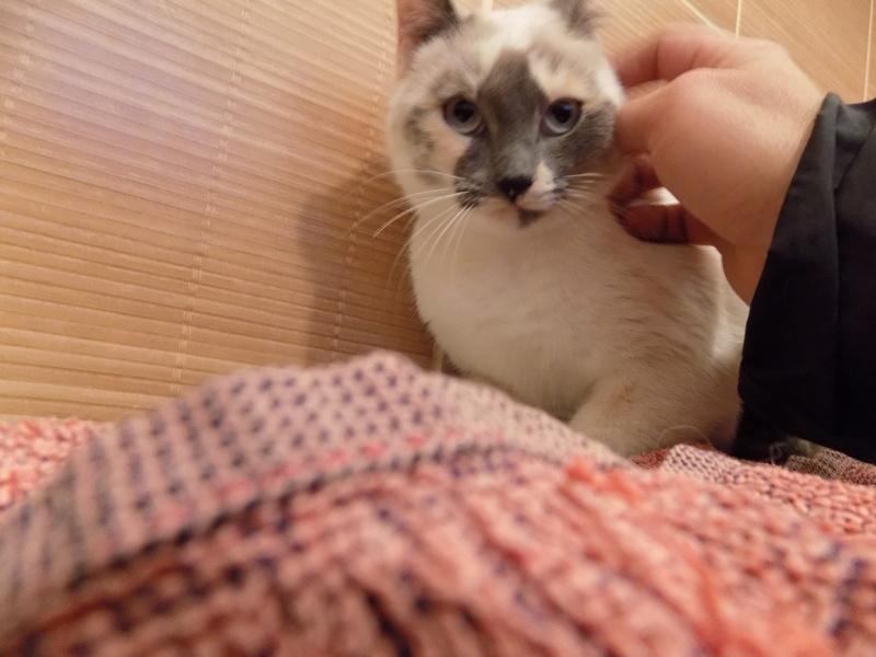 jaska - Jaska chatte Européenne tricolore : dominance beige (croisée siamoise ), née le 16/11/2014 Jasca_16