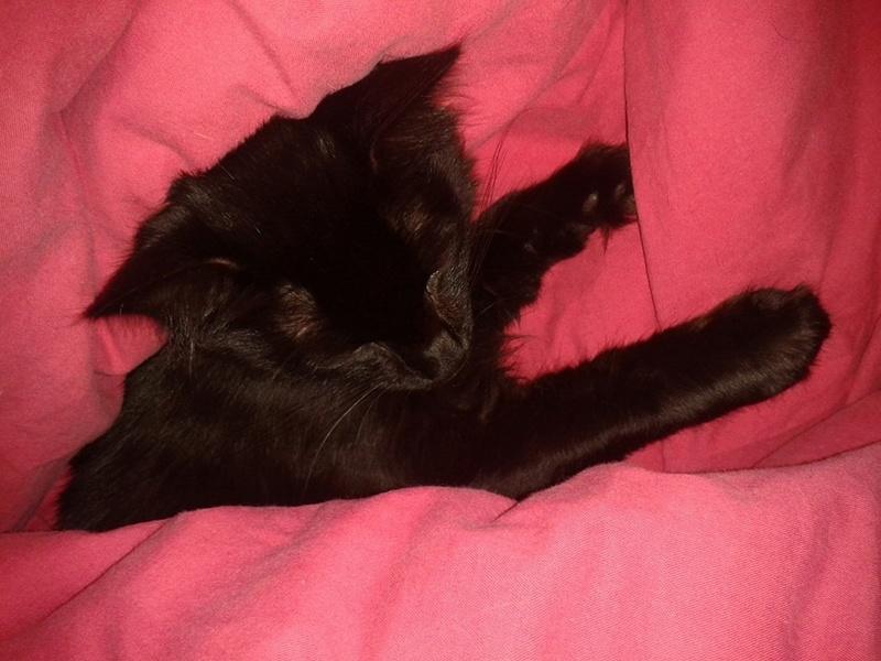 DOMINO (chaton mâle poils mi long) 14915310
