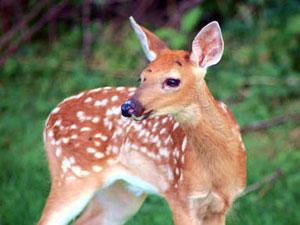 [Test] Quel est votre animal totem ? Deer-t10