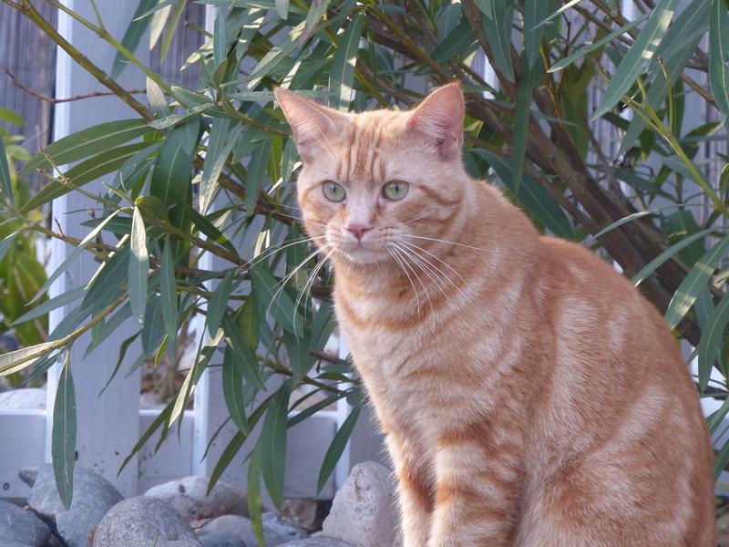 Trouvé chat roux Perget / Lycée International Bernar10