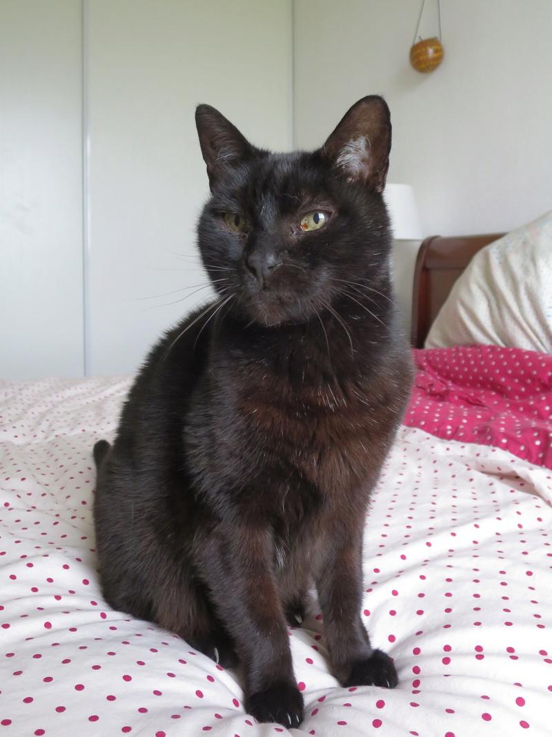 Trouvé chat noir, adulte, à Tournefeuille Img_3714