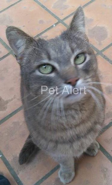 Trouvé chat gris tigré à Colomiers Gris10