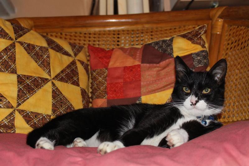 Perdu chat noir et blanc à Cugnaux Img_9010