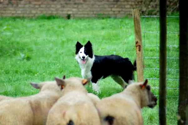 C'est ( enfin!)  le vote final du concours photo troupeau 2008 Fonzy210