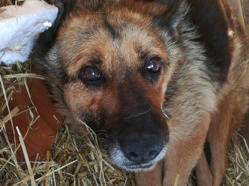 CANDY, femelle âgée berger allemand, née environ en 2006 - en FALD  chez Karine (03) DECEDEE  Candy212