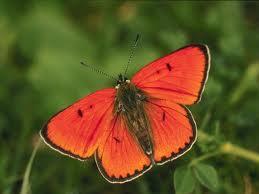 CADENA DE HAIKUS  - Tema las mariposas - Iges10