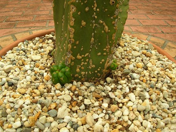 Rescuing a neglected cactus... Scoppu10