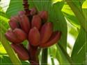 Création d'un Fruit du Démon - Page 6 Banane10