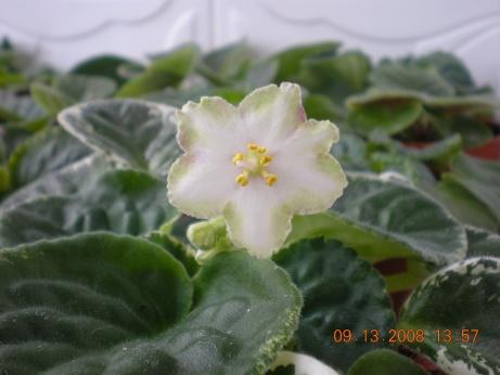 ma's lily pad Dscn1032
