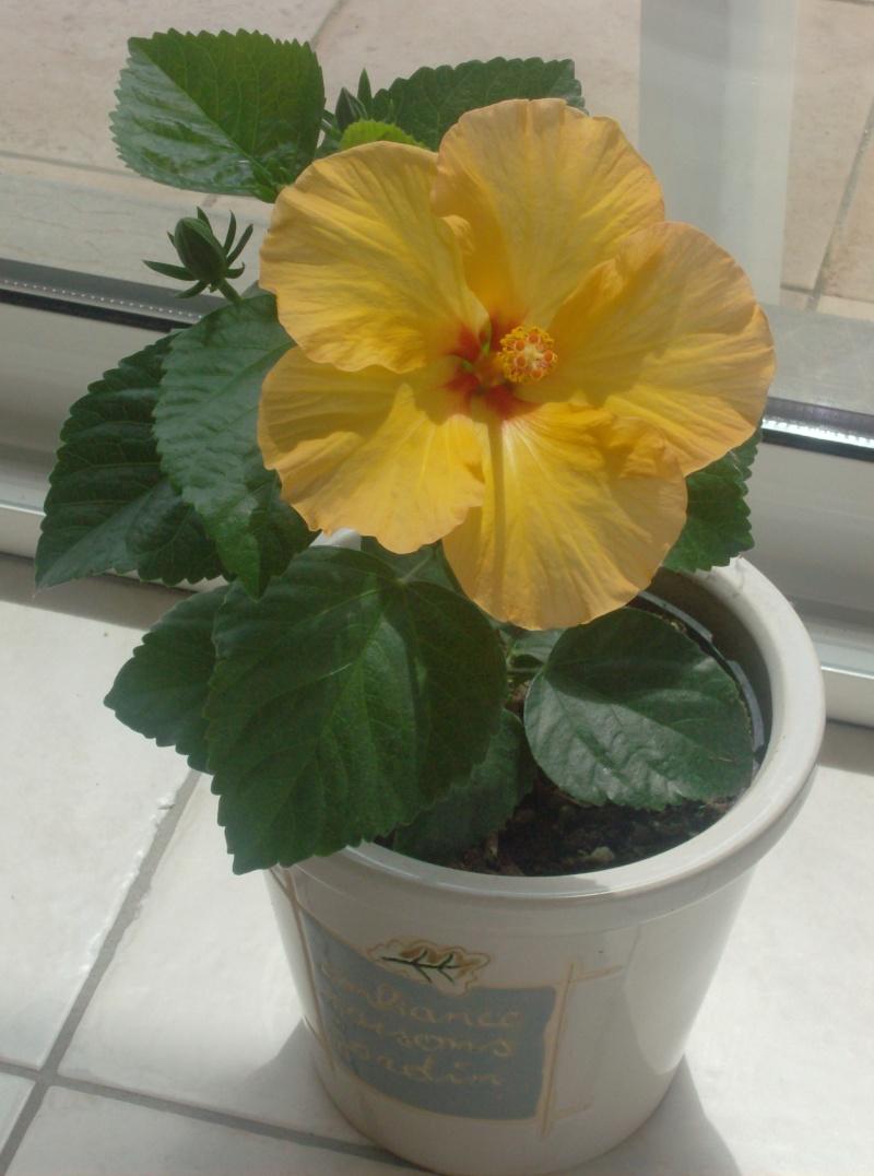 Hibiscus rosa sinensis Boutur11