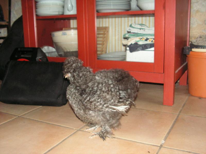 Grande exposition /concours avicole virtuel de fin d'année spécial Gallinacée (100 euros à gagner) - Page 2 Pict0513