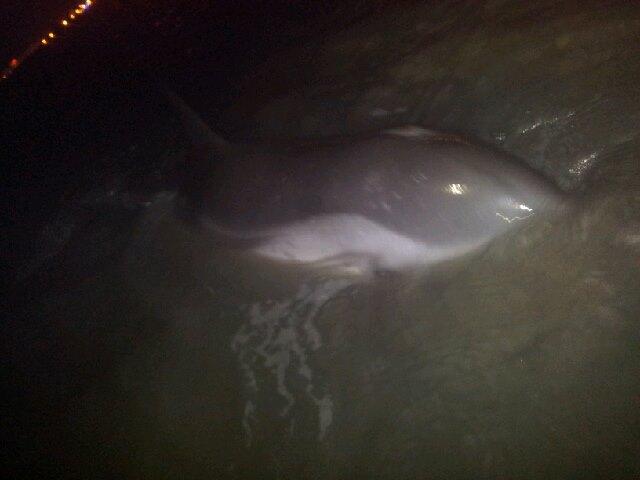 Echouage d'un bébé dauphin au Grau du Roi  55764110
