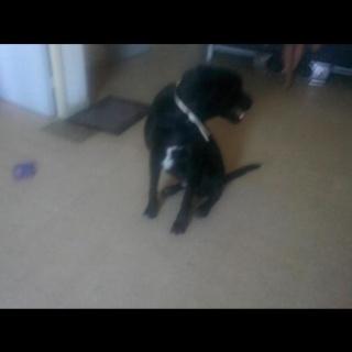 Chienne trouvée Labrador noir,Toulon DEPT83 12922_10