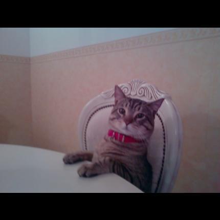 """Chat perdu : """"sanga"""" Toulon DEPT83 13487_10"""
