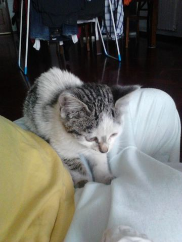Gatito blanco y gris Imagen88