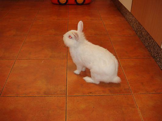 Conejo blanco de angora en adopción P1010311