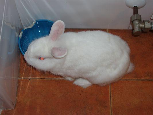 Conejo blanco de angora en adopción P1010312