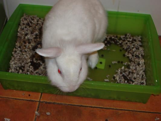 Conejo blanco de angora en adopción P1010313