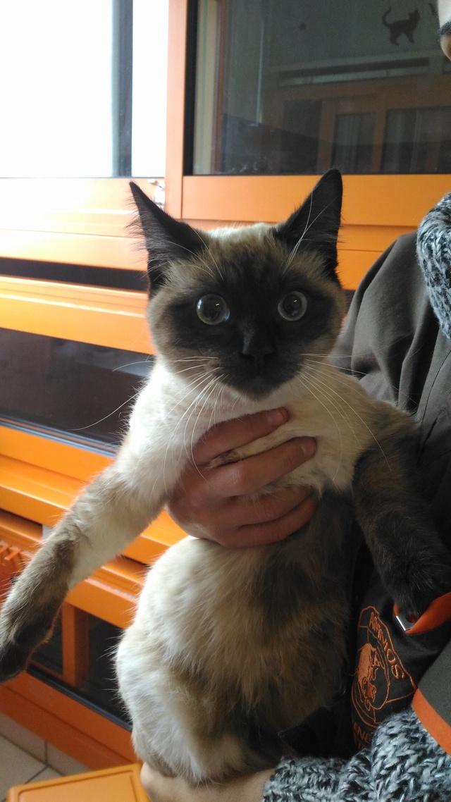 Trouvé à Cornebarrieu jeune chat siamois P_201614