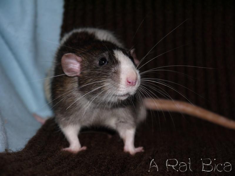 Sauvetage des 25 rats dans les Landes - Page 8 P1000813