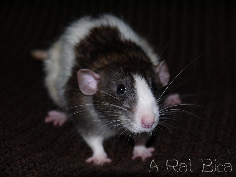Sauvetage des 25 rats dans les Landes - Page 8 P1000814