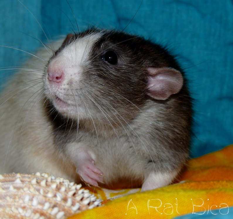 Sauvetage des 25 rats dans les Landes - Page 8 P1140711