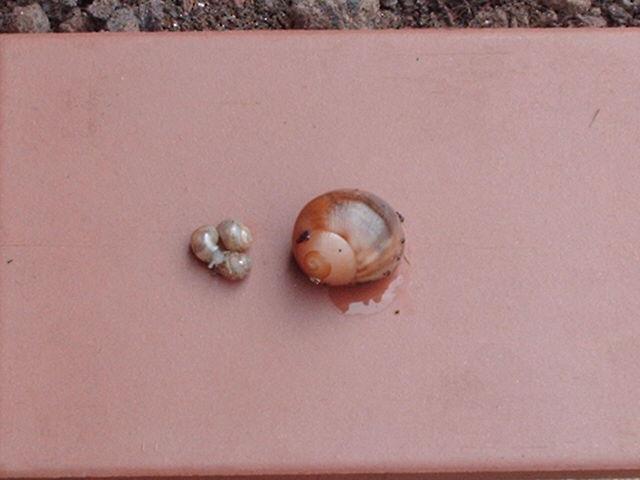 Achatina fulica et archachatina marginata Image129